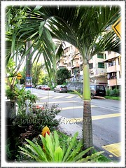Veitchia merrillii (Manila/Christmas Palm) with two budding flower stalks, Nov 30 2011