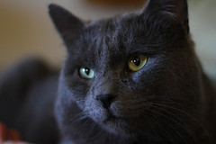 animal, british shorthair, small to medium-sized cats, pet, snout, black cat, fauna, bombay, close-up, cat, korat, carnivoran, whiskers, black, russian blue, domestic short-haired cat,