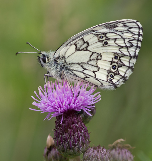 marbled white butterfly 3