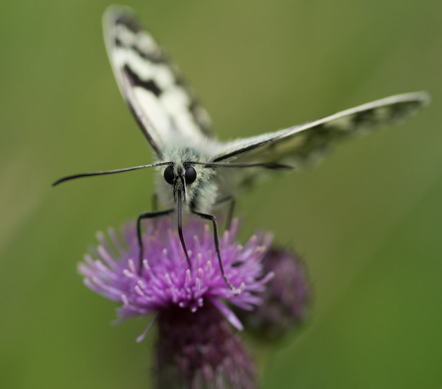 marbled white butterfly 14