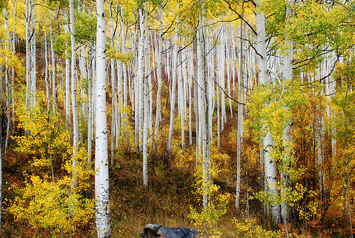 autumn plants usa mountains fall nature yellow landscape leaf nikon colorado colorful artistic textures aspen d80 moosebite jrgoodwin