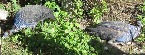 11.26.11 - Tampa Zoo Guineafowl