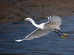 animal, water bird, wing, fauna, great egret, heron, pelecaniformes, beak, bird, seabird, wildlife,