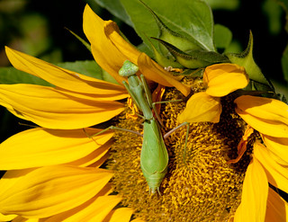 Mantis on golden sunflower