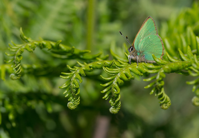 green hairstreak on bracken 3