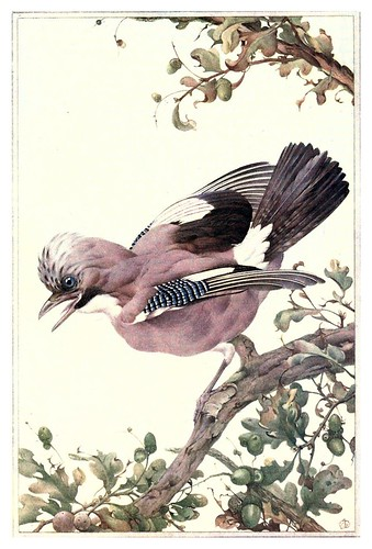 036-Arrendajo- Birds in town & village 1920-Ilustrado por Edward Detmold
