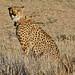 Small photo of Cheetah (Acinonyx jubatus) female with collar
