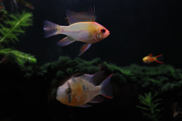 Female and Male Ram, Tropical Fish