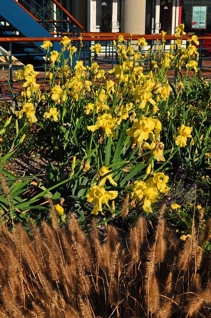 Iris germanica (3)