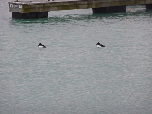 Goldeneye (ducks?)
