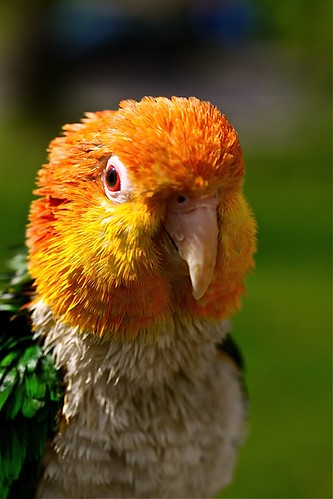 parrot training, white bellied caique, training white bellied caiques, Pionites Leucogaster