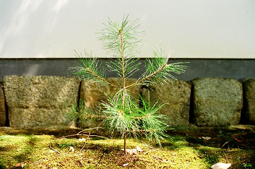Young evergreens pine
