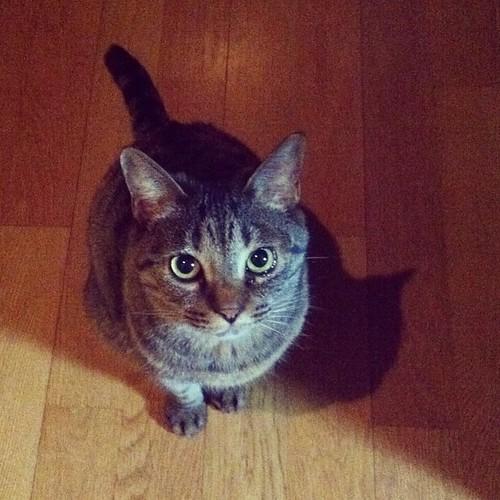 実家の猫2 きなこ #cat by yuiszki