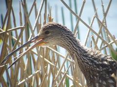 LImpkin, Viera Wetlands, FL