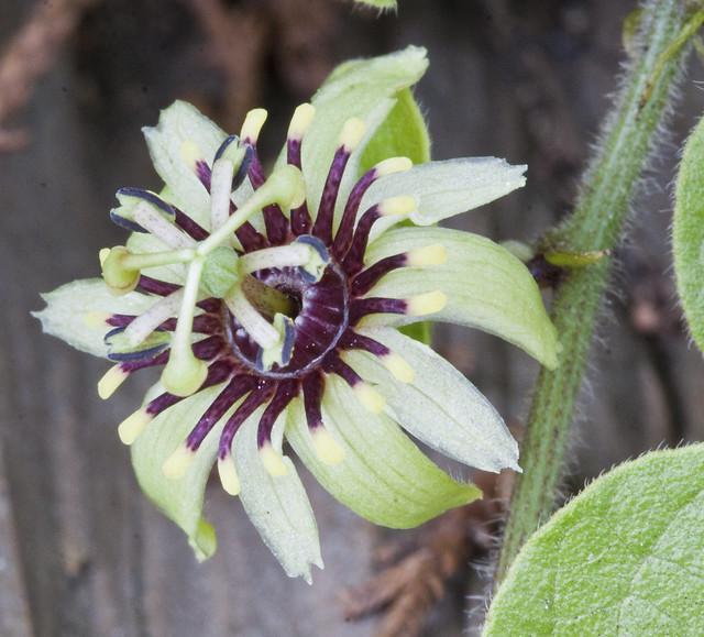 Passiflora conzattiana Killip - Flor