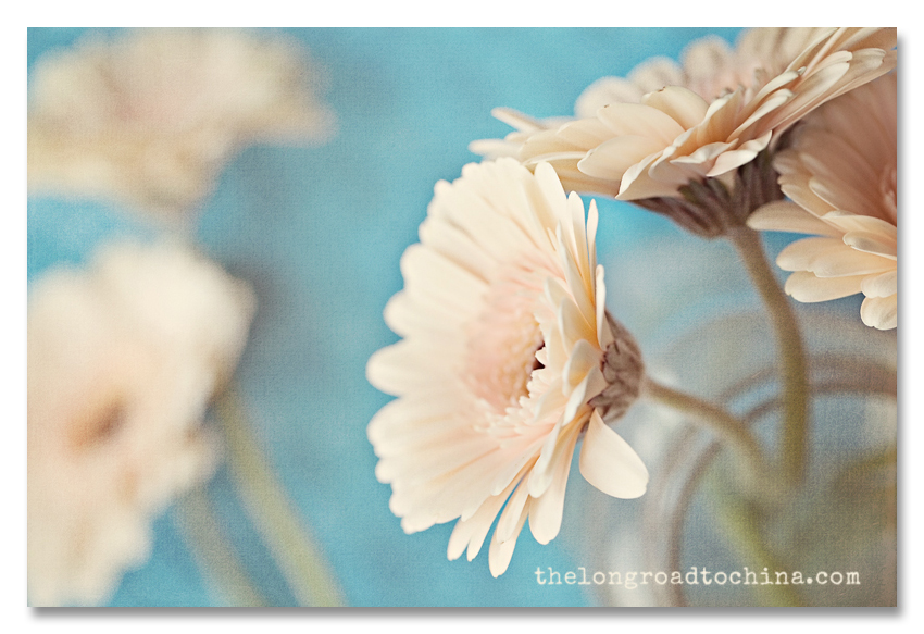 Gerbie Daisies in Vase and on on the Table BLOG
