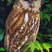 Tawny Owl  by Ian Macfadyen