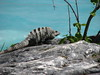 Iguana on the Coast