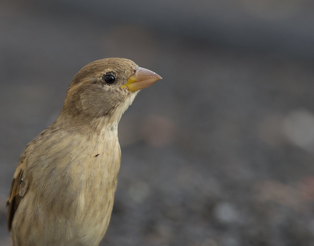 spanish sparrow 2