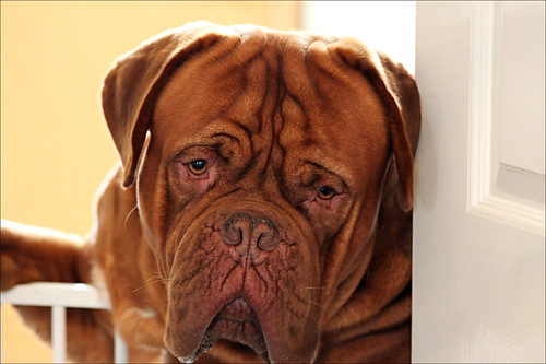 Dogue de Bordeaux 3
