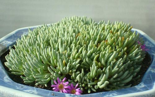 Delosperma sphalmantoides  by cactusjohn