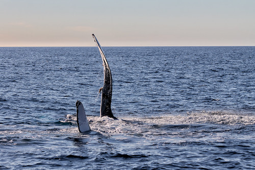 Whales near your La Jolla home