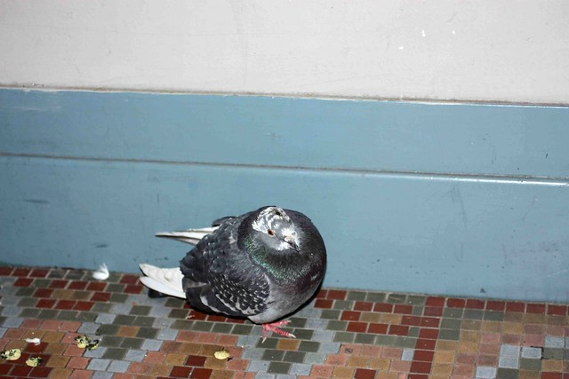 20120119-Pidgeon in my doorway IMG_3692