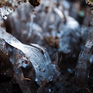 Ice Fungi, Ice Needles しもばしら【霜柱】03