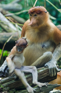 Singapore Zoo - Proboscis monkeys