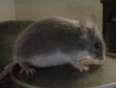 animal, rat, rodent, pet, mouse, fauna, muroidea, whiskers, pest, chinchilla, gerbil,