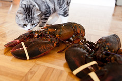 Cat Meets Lobster