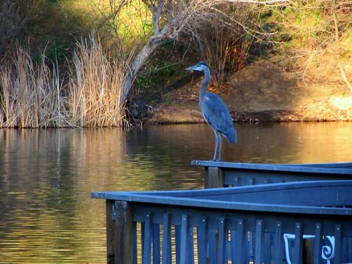 heron at the lake