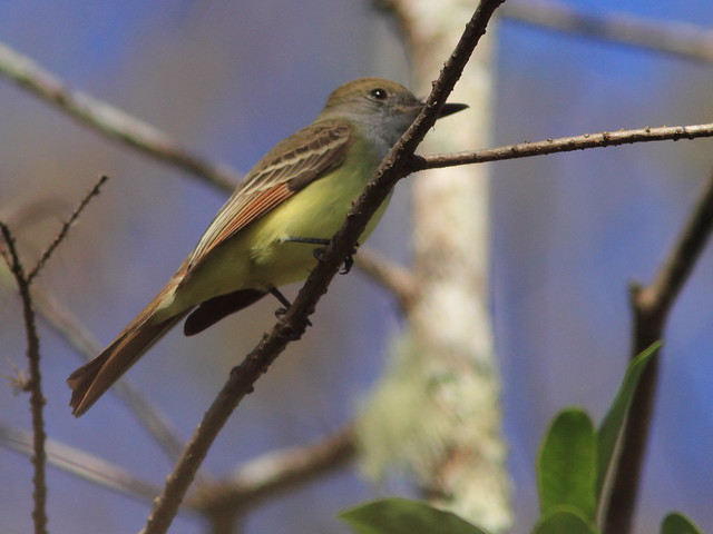 Great Crested Flycatcher 3-20120131