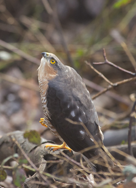sparrowhawk look up 2