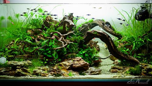 90x45x45cm Planted Aquascape - week 3