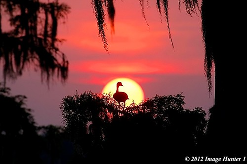 Black-bellied Whistling Duck, Sunset - Lake Martin, Louisiana