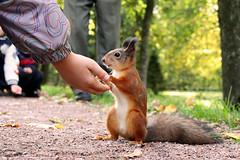 A squirrel in Petrodvoretz