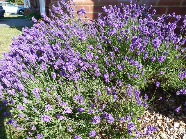 Week 6 - Lavender