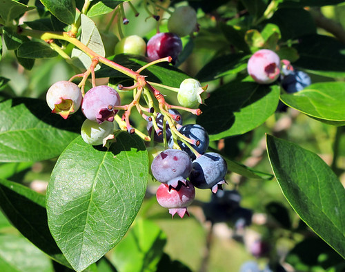 Blueberries blossom at Spiller Farm in Wells, Maine.  The Specialty Crop Block Grant Program will support blueberry and other specialty crop growers in California and the rest of the U.S. states, the District of Columbia, and the U.S. territories of American Samoa, Guam, the Commonwealth of Puerto Rico and the U.S. Virgin Islands. Photo by henskechristine.