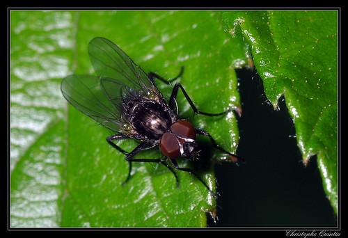 Anthomyiidae (Botanophila fugax ?) mâle
