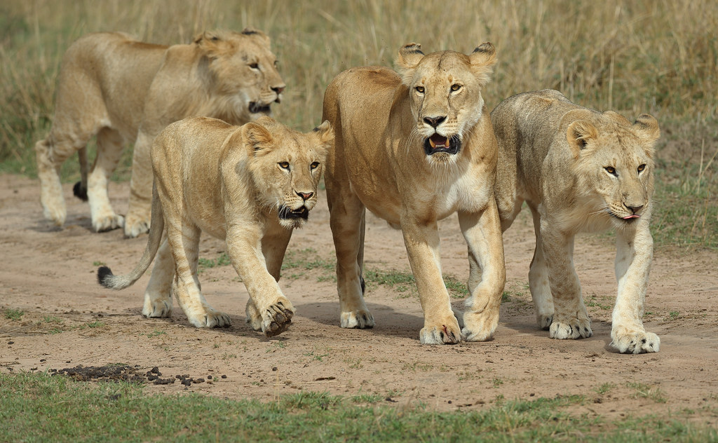 Lioness and cubs on the Masai Mara