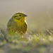 Yellowhammer (Emberiza citrinella) by m. geven