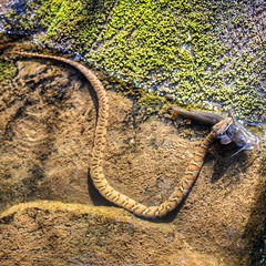 Water Snake Enjoying A Catfish