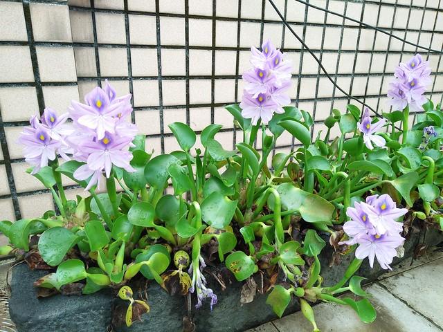 布袋蓮 Eichhornia crassipes