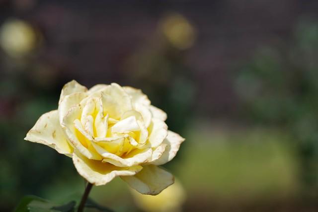 2016/05/21_古河庭園バラフェスタ-4