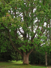 Mighty tree - Photo of Ménéac