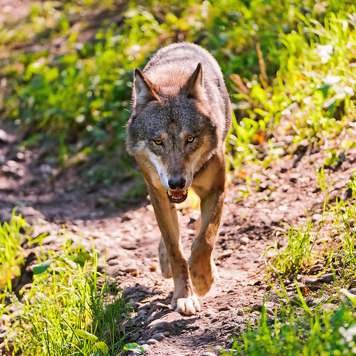 Wolf walking towards me! by Tambako the Jaguar