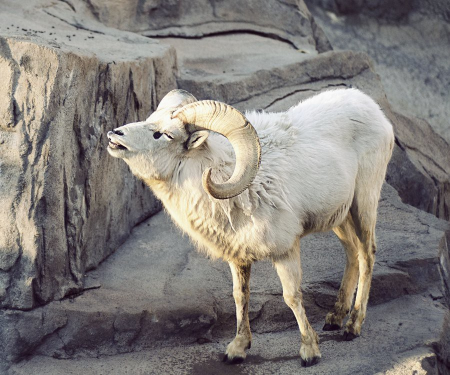 Dall Sheep Smilin'