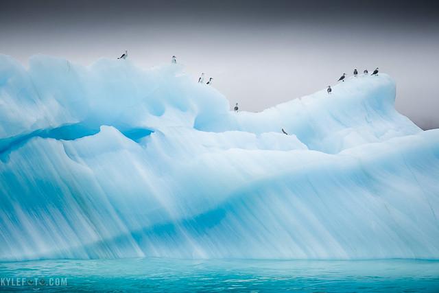 Arctic Kittiwake Iceberg