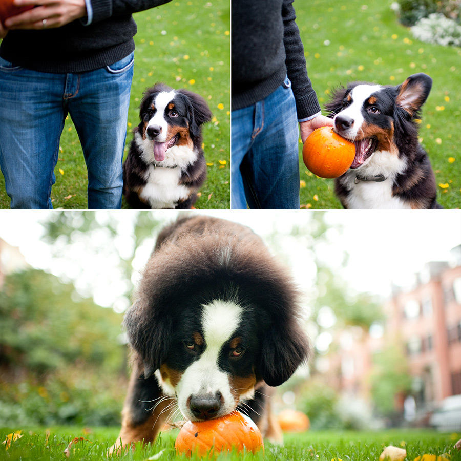 Download Bernese Mountain Dog Chubby Adorable Dog - 6414839585_75072d5027_o  Best Photo Reference_489979  .jpg